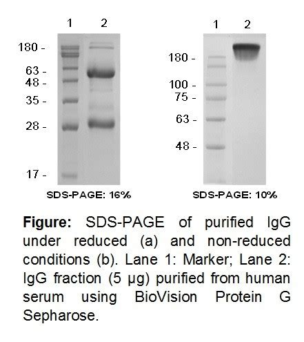 rprotein a sepharose protein g sepharose 6511 biovision inc