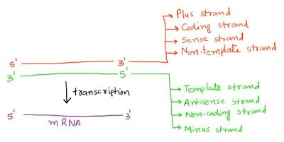 difference between template and coding strand now i sense strand and antisense strand what is