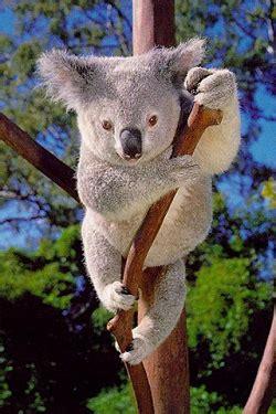 koala hängematte fondo de pantalla de un koala para iphone