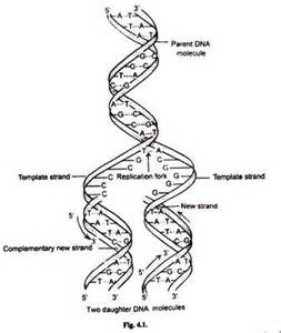 dna replication with diagram molecular biology
