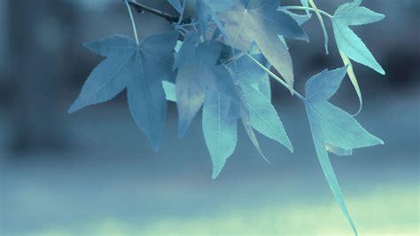 Wallpaper Blue Leaves | blue leaves in depth of field hd wallpaper 187 fullhdwpp
