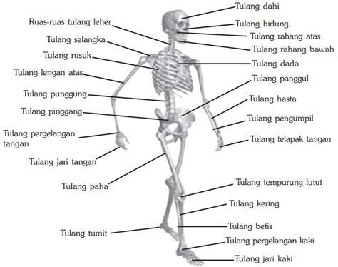 Kerangka Manusia gambar kerangka manusia tengkorak tubuh dan anggota gerak