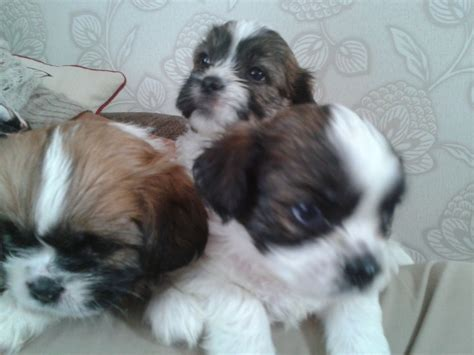 shih tzu x lhasa apso for sale shih tzu x lhasa apso peterborough cambridgeshire pets4homes