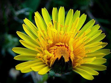 dandy flowers dandy photograph by milo rober