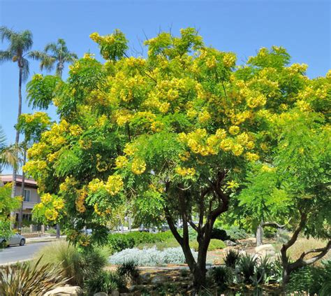 tree buy cassia leptophylla quot gold medallion tree quot buy at