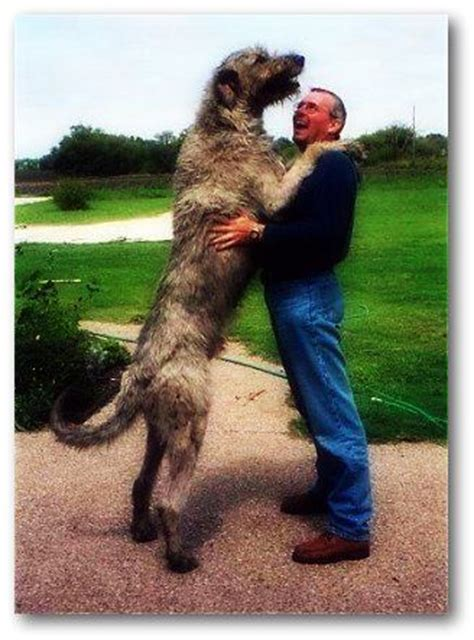 Do Leonbergers Shed by Large Breeds Search Big