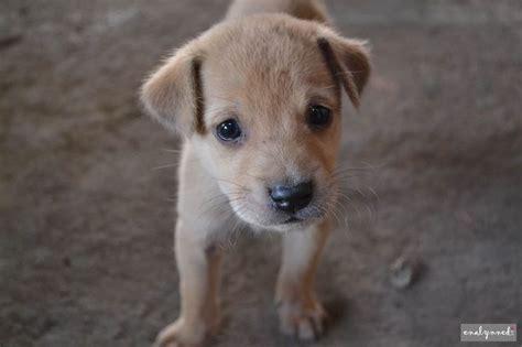 light brown puppy light our light brown puppy 3