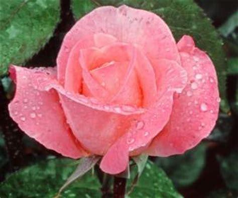 Bunga Mawar Alam Indah wallpaper mawar merah muda bunga alam alam wallpaper