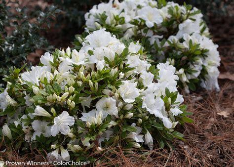 White Azalea bloom a thon 174 white reblooming azalea rhododendron x