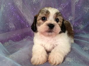 shih tzu puppies for sale buffalo ny shih tzu bichon teddy puppies shipping puppies for sale only costs 150 into ri