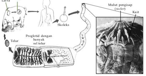 Cacing Pengertian kelas cestoda cacing pita pengertian klasifikasi