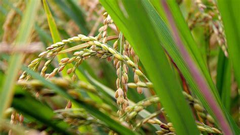 plantadores de arroz pf descobre plantadores de arroz que fraudavam