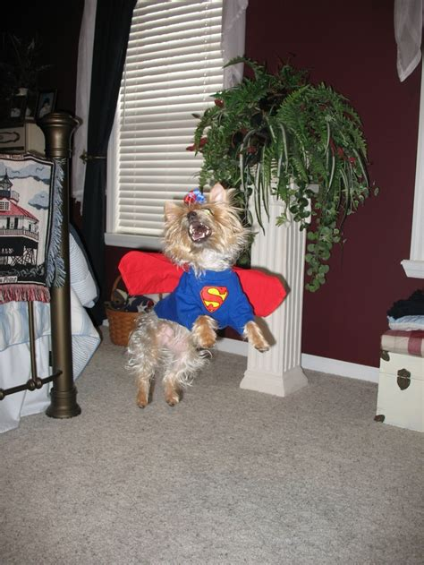 yorkies in costumes 1000 images about yorkies in costumes on