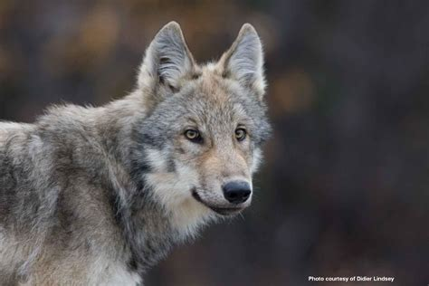 a wolf will a washington wolf pack die tomorrow defenders of wildlife