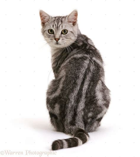 cat sitting from back search images for