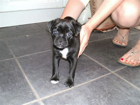 mutt puppy jug terrier pug mix info temperament pet care puppies