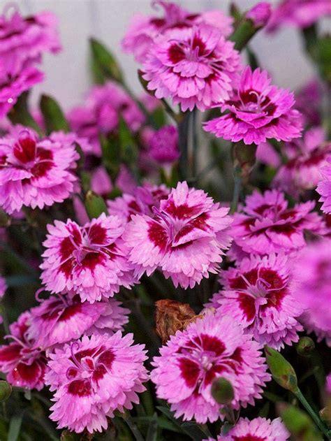 fall blooming perennials on pinterest perennials top 28 perennial flowers that bloom all season 17