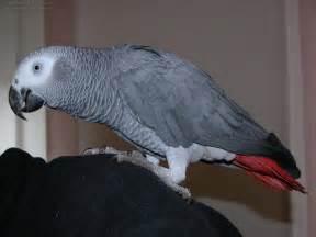 free grey parrot pictures gray parrot photos parrot