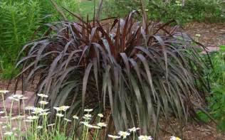 buy princess caroline purple fountain grass pennisetum 1 gallon pennisetum fountain grasses