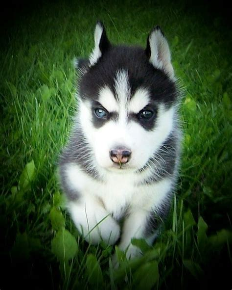 husky puppies wisconsin 1000 ideas about puppies for sale on puppies for sale mastiff