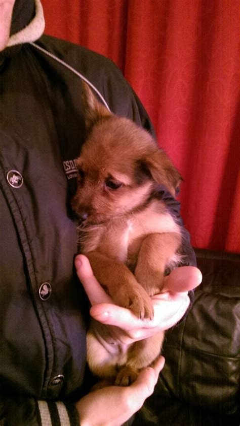 teacup yorkies for sale in kent pomeranian x yorkie puppies for sale ramsgate kent pets4homes
