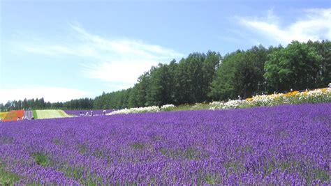 file lavender farmtomita jpg wikipedia
