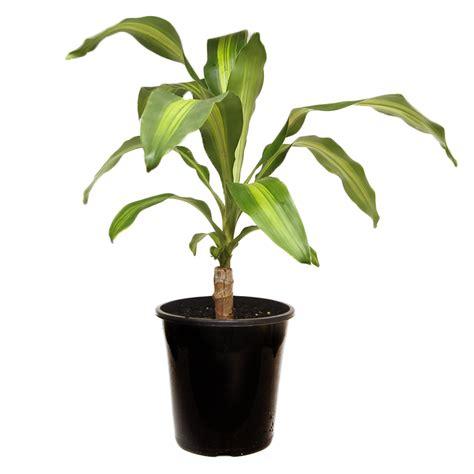 happy plant dracaena fragrans massangeana 20cm 200mm