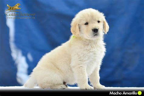golden retriever precio cachorros golden retriever en mexico golden retriever mexico