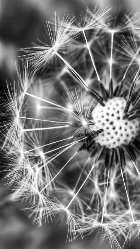 black and white dandelion wallpaper black white dandelion the iphone wallpapers