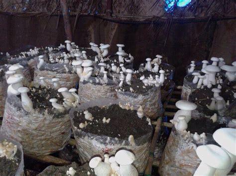 milky mushroom jual bibit     baglog jamur tiram