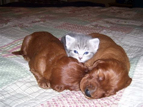 puppys and kittens kitten and puppies sandwich teh