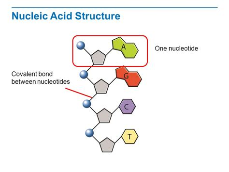 nucleic acid diagram the structure of dna read the title aloud to students