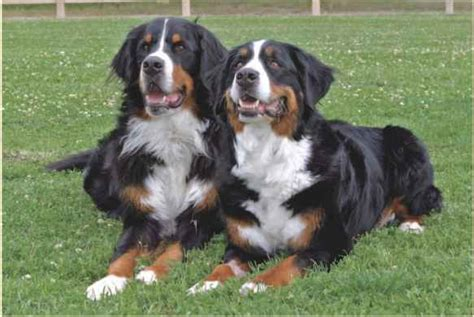 farm dogs fluffy breeds breeds and varieties obedience guides