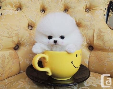 micro teacup pomeranian puppies sale tiny white micro teacup pomeranian puppies for sale in markham ontario classifieds