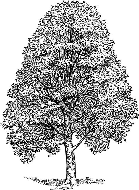 beech tree coloring page beech tree clip art at clker com vector clip art online