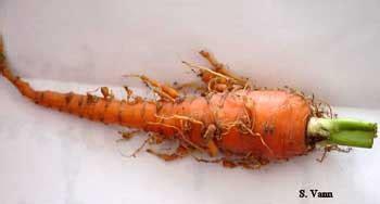 root knot nematode resistant vegetables carrot