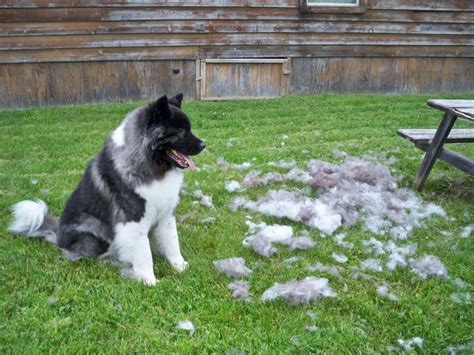 Shedding Dogs by What Causes A Or A Cat To Shed Pets Stack Exchange