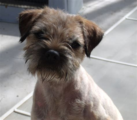 border terrier puppies for sale near me arizona border terrier breeder otley kennel arizona border terrier puppy border