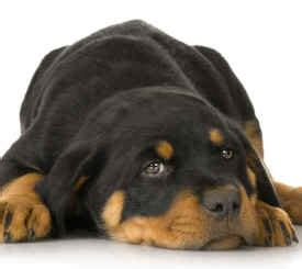 rehoming rottweilers rottweiler rehoming service rehome your rottie safely and effectively