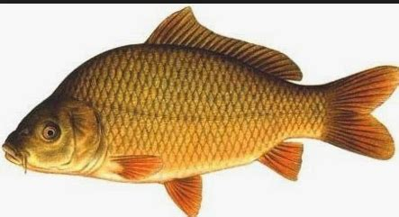 membuat racikan umpan ikan mas membuat racikan umpan ikan mas