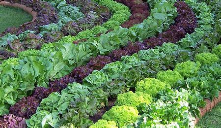 Growing a vegetable garden at home   Handy tips detail