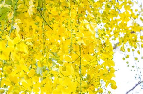 What Is The Golden Shower by Flowers Of Golden Shower Tree Bloom In Summer Stock