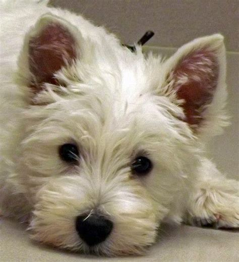 west highland terrier puppies for sale near me west highland white terrier puppies newhairstylesformen2014