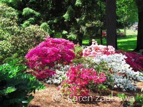 patio rhododendron brueckner rhododendron gardens marta brueckner