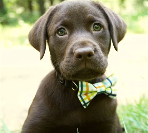 chocolate lab chocolate labrador puppy www pixshark images galleries with a bite