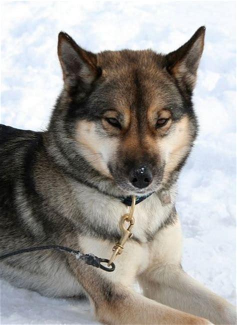 husky coat colors six stunning siberian husky coat colors discoveries