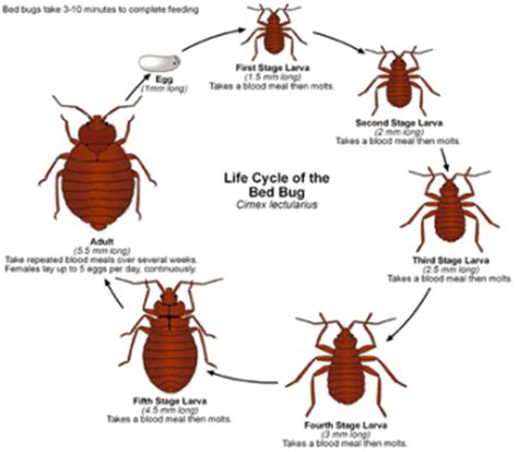 how do bed bugs multiply 28 images how do bed bugs