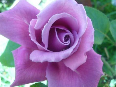 imagenes rosas violetas rosas violetas im 225 genes imagui