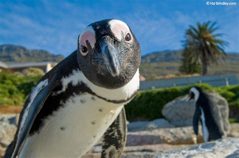 Waddling With African Penguins - Travel 4 Wildlife