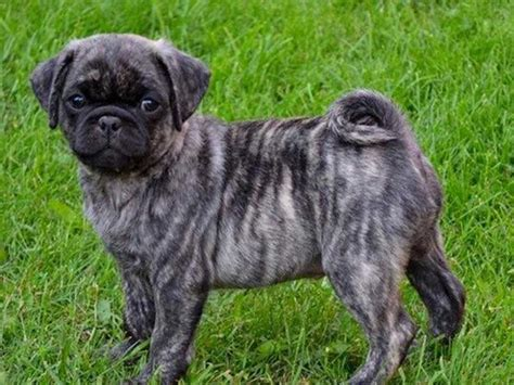 how much is a black pug uncovering the mystery of the brindle pug